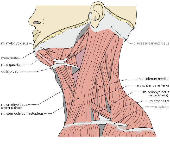 Mind & Body Musings: Neck Pain, Trapezius Hypertrophy, and Ergonomic ...