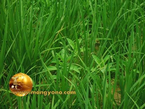 FOTO: Tumbuhan Gunda di antara rumpun padi di sawah.