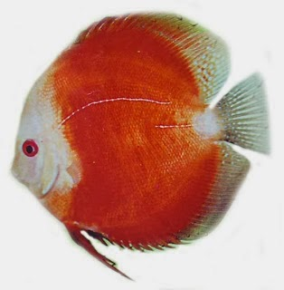 Discus jenis Red Melon