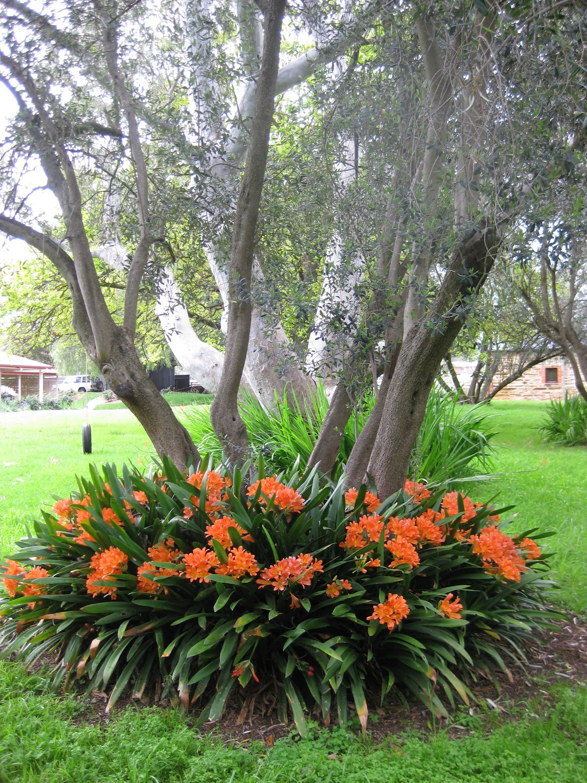 Fern forest snips clivia miniata kaffir lilly for What to plant under olive trees
