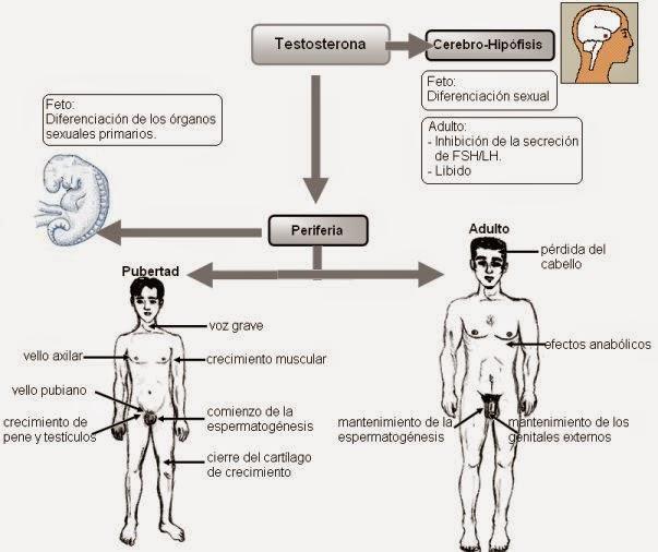 Globulina fijadora de hormonas sexuales - Wikipedia, la