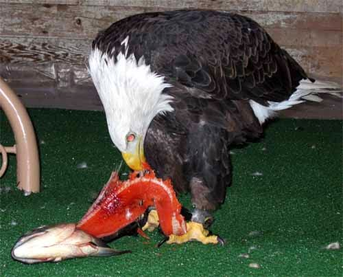 Eagle eating meat - photo#1