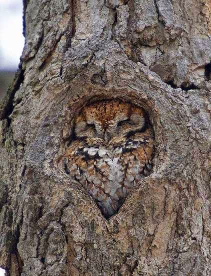 Amazing owl vs tree, Amazing nature,  Tree Snugging Owl