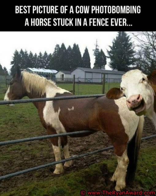 Best picture of a cow photobombing