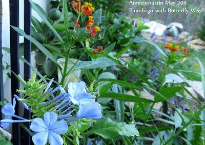 Annieinaustin,tropical milkweed w plumbage