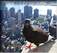 manhattan bird nyc pigeon nicotine chemical addiction smoking cigarette new york city