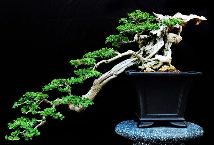 Astina Official Macam Macam Gaya Bonsai