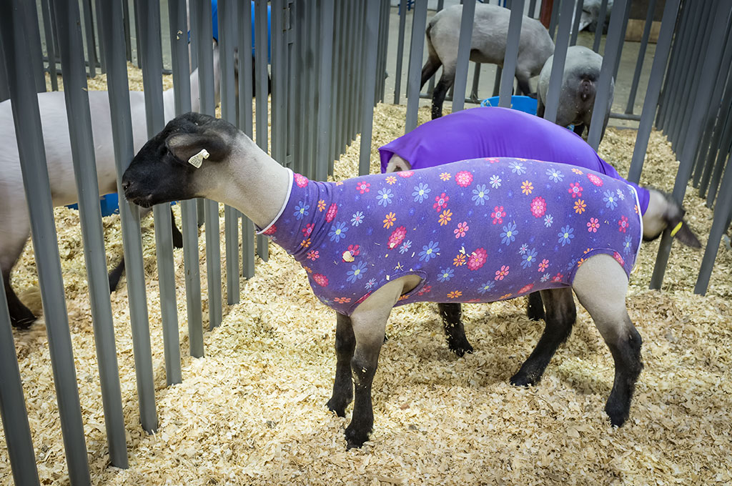 Sheep with their coats on at the York Fair