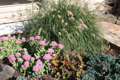 A guide to northeastern gardening garden blogger 39 s bloom for Blue fountain grass