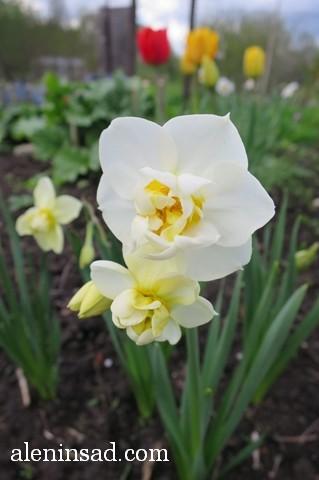 нарциссы, поздний, махровая серединка, аленин сад
