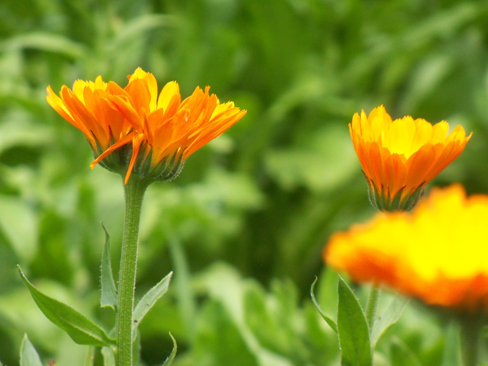 Plant Journeys: Calendula at Peak, Lavender Distillation ...