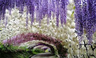 Terowongan Wisteria di Kawachi Fuji Garden, Jepang
