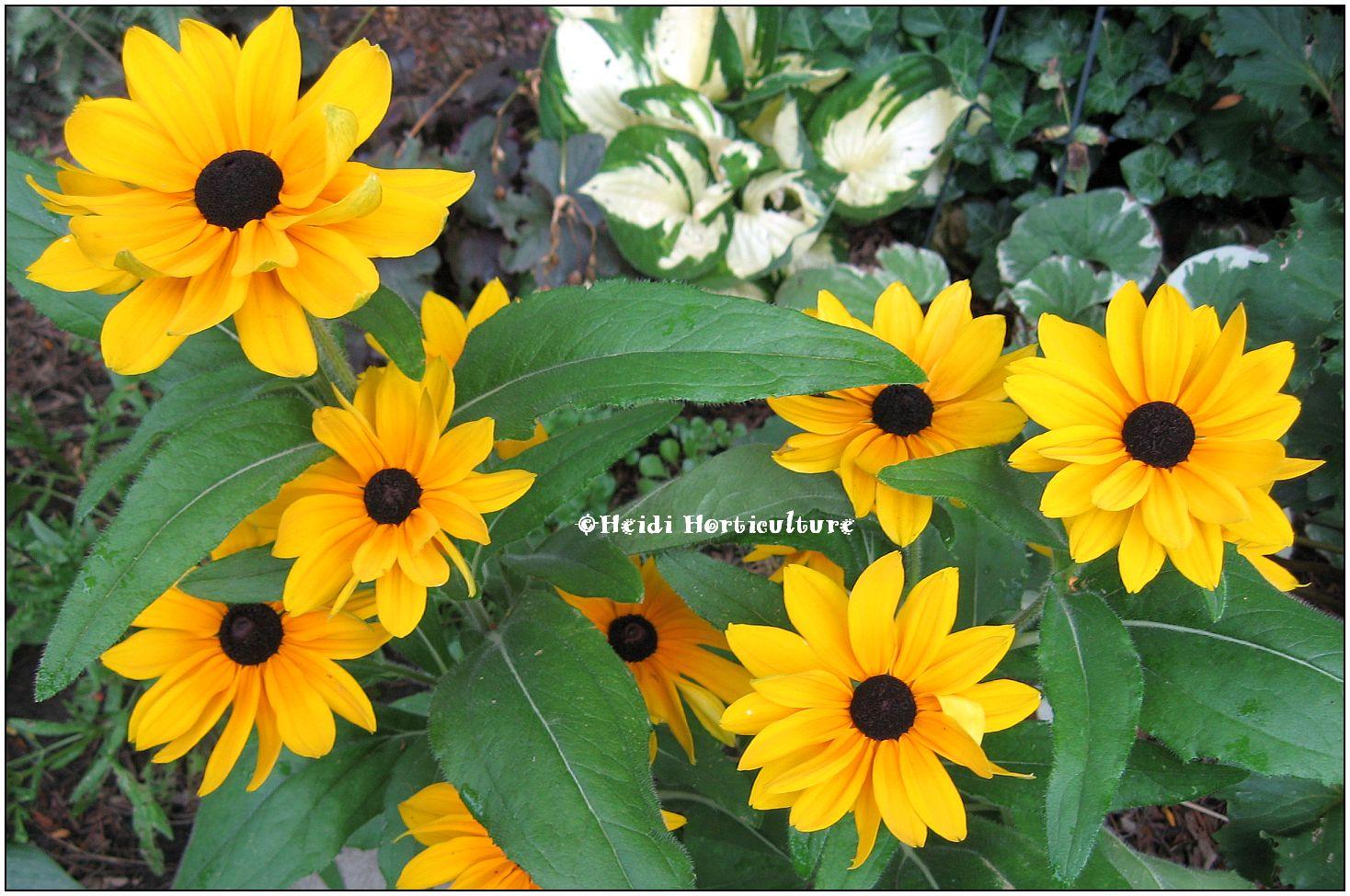 Rudbeckia Hirta Indian Summer