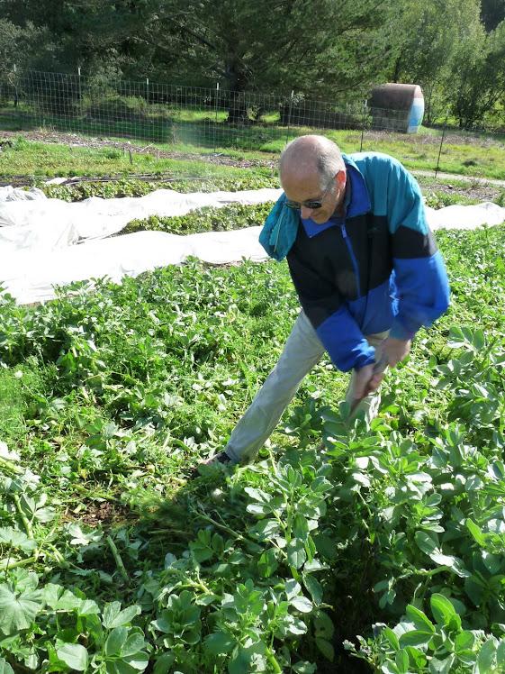 Bob Thiel, fava plant harvester