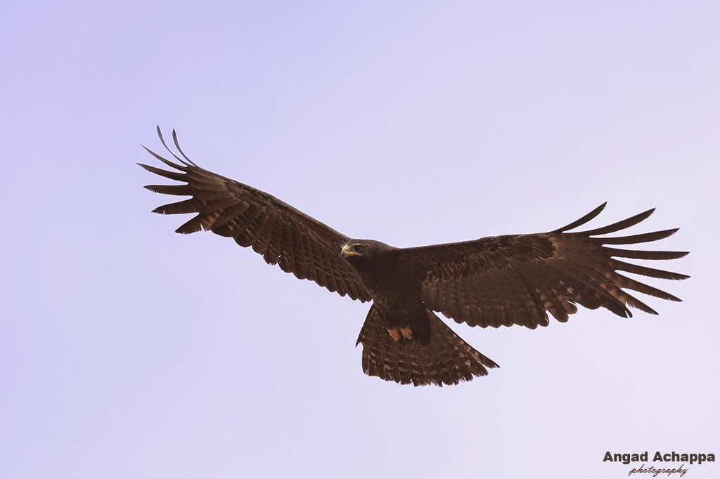 black eagle, eagle in flight, birds in flight, birding, indian birds, ducks, birds of india, bird photography, Bandipur, Bandipur National Park, Karnataka, India, Wildlife Photography, Indian Wildlife, top indian wildlife photographers, top indian photographers, top indian bird photographer