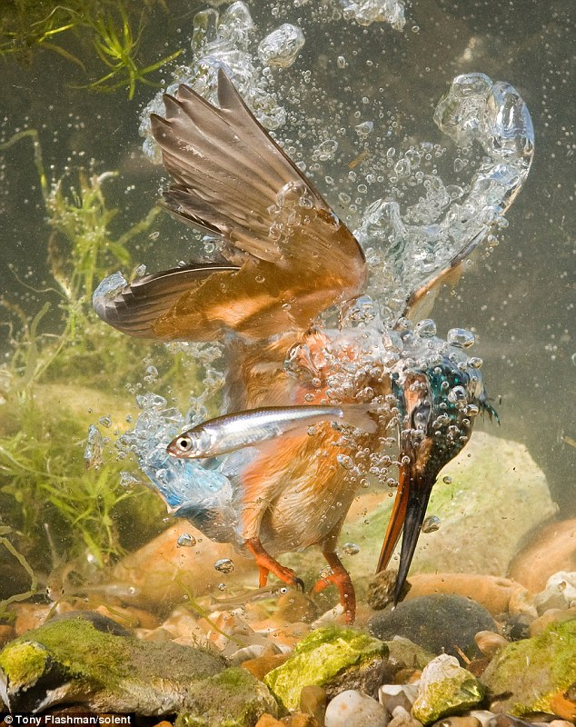 Burung Raja Udang target ikan tapi dapat batu kerikil