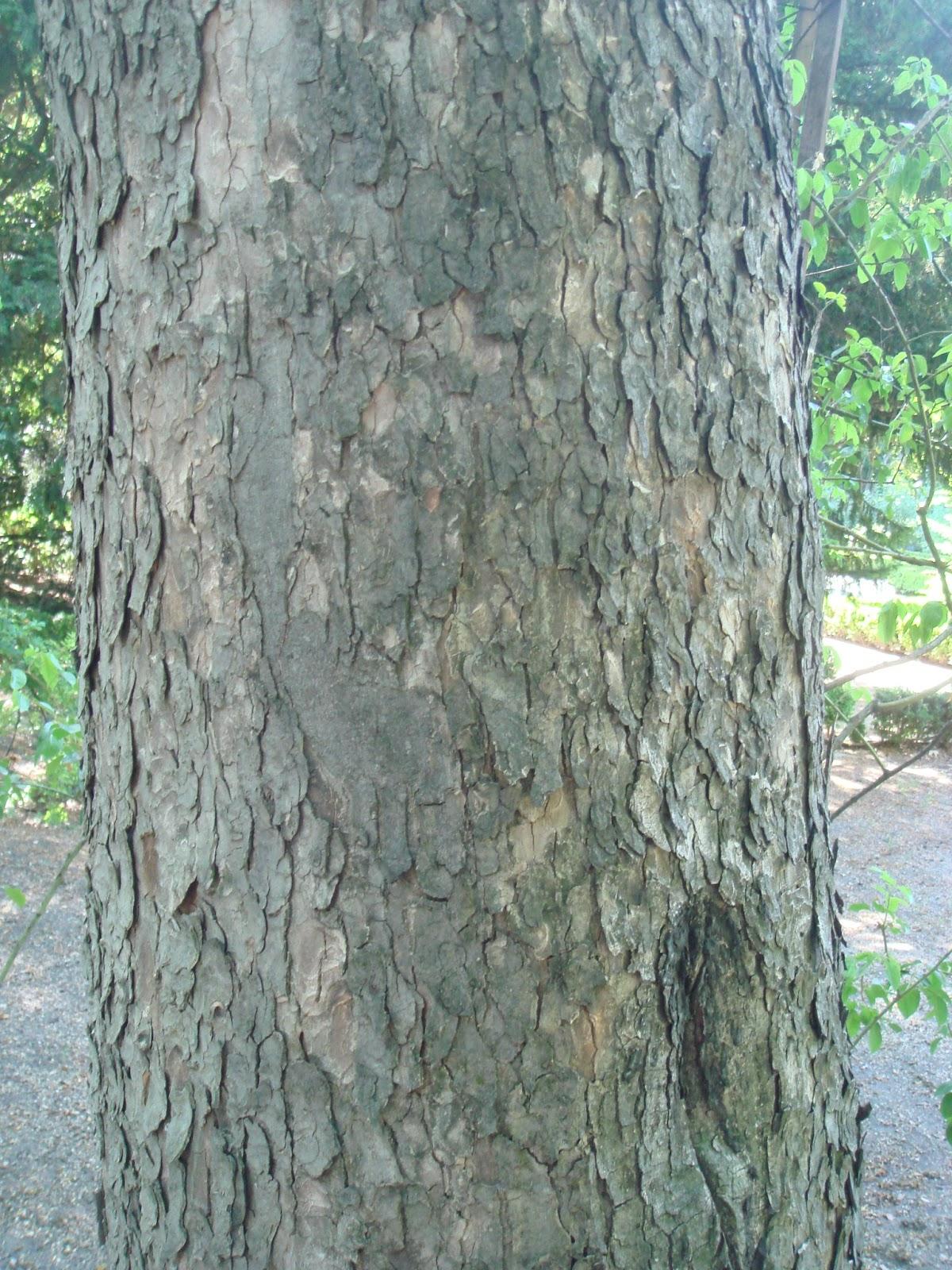 Flora urbana de getafe arce blanco for Lista de arboles de hoja caduca