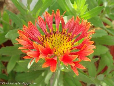 Blanket Flowers-Gaillardia