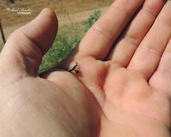 Araña cangrejo(Thomisidae)