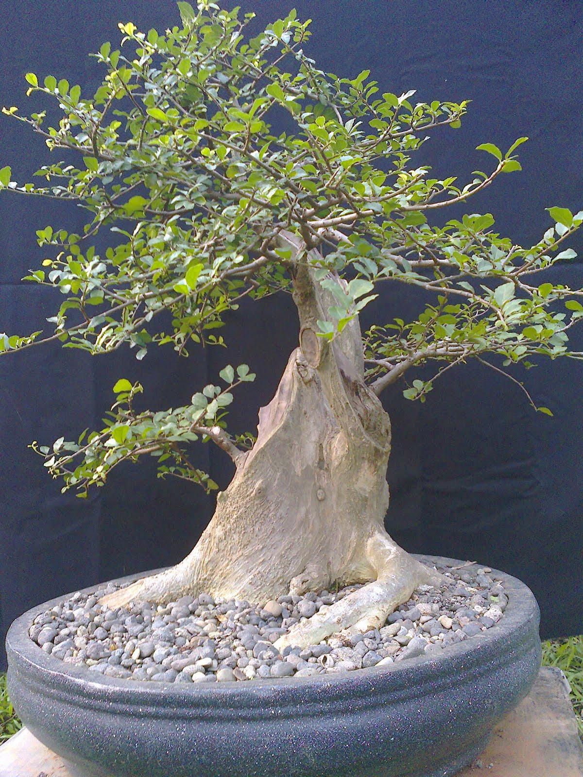 budidaya bonsai serut beringin