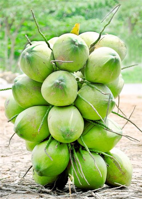 Young Coconut Hijau