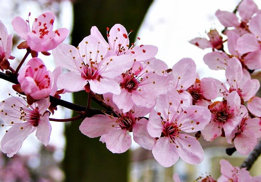 Gambar Bunga Sakura Jepang Related Keywords & Suggestions - Gambar ...