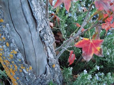 Damaged Sweetgum Tree in January