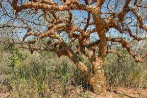 Plantas da caatinga ajudam a combater o Aedes aegypti