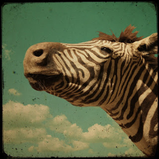 melancholy zebra tim irving photography print
