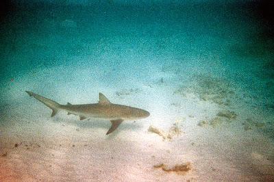 Shark near Florida Keys and Everglades National Park