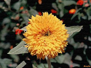 زهور الوردة الصفراء