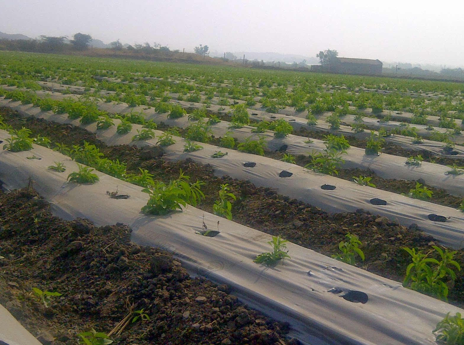 STEVIA CULTIVATION IN GUJRAT
