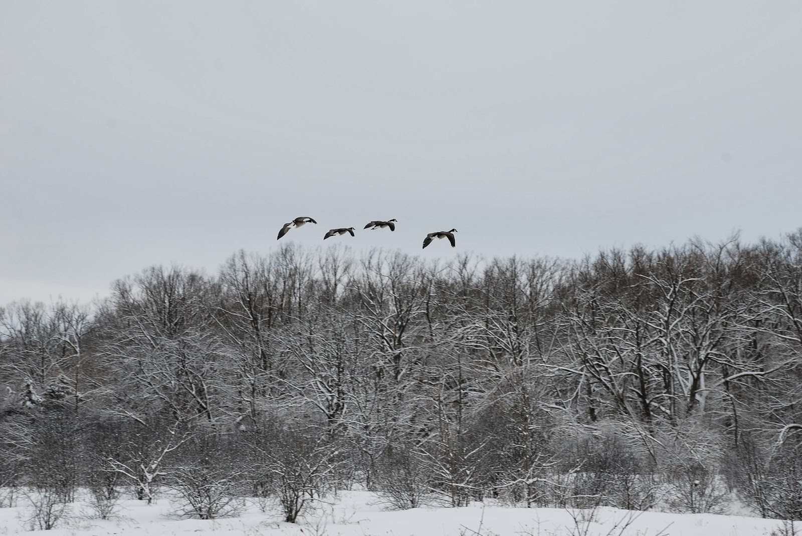 Canadian Geese coming in for a landing in winter
