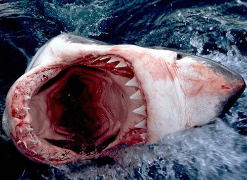 Kumpulan Gambar Ikan Hiu Lengkap