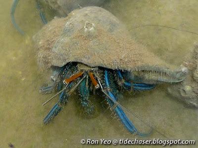 Blue Striped Hermit Crab (Clibanarius longitarsus)
