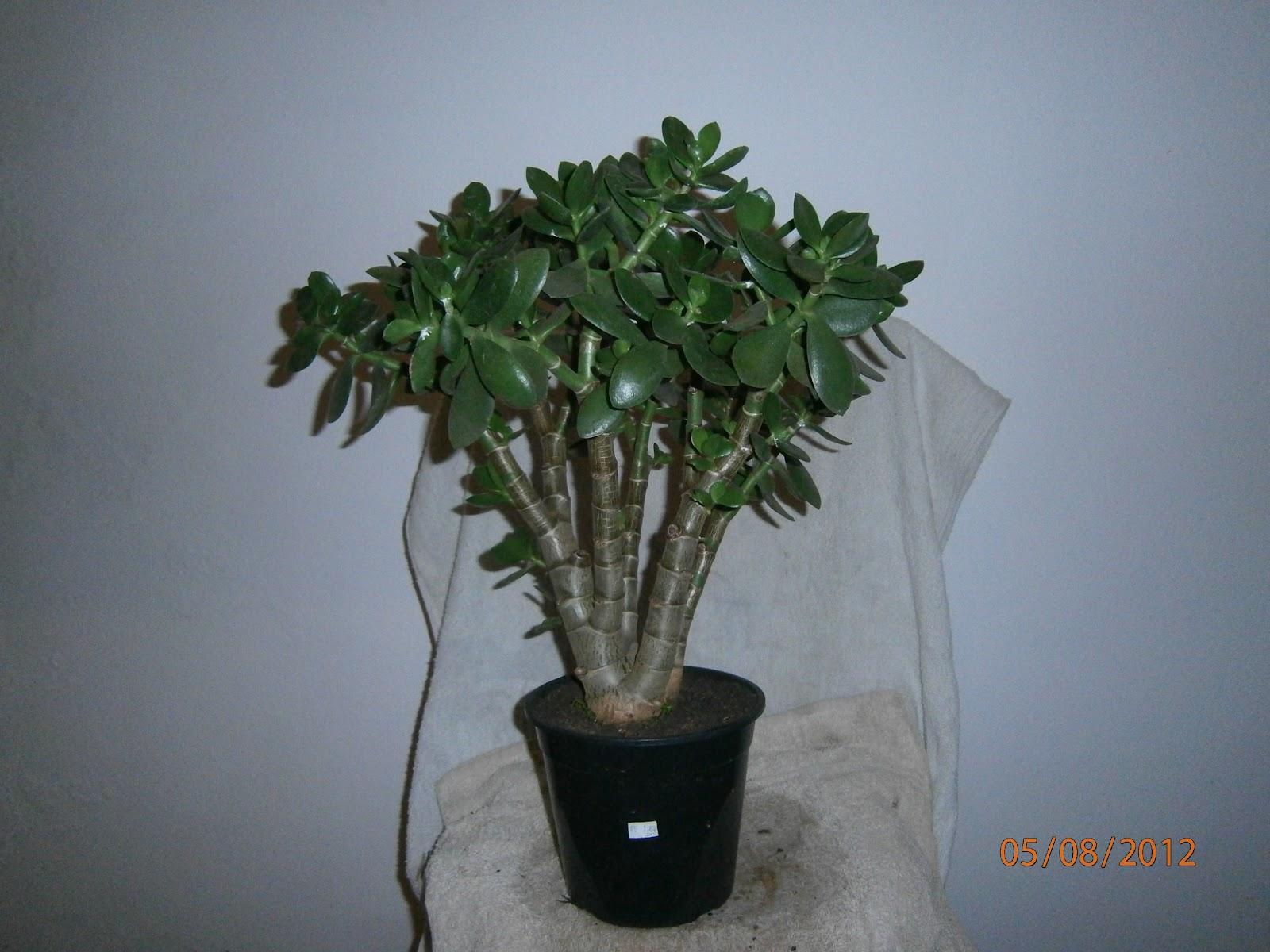 BONSAI FCIL RS PLANTA JADE Ou JADE PLANT Crassula Ovata