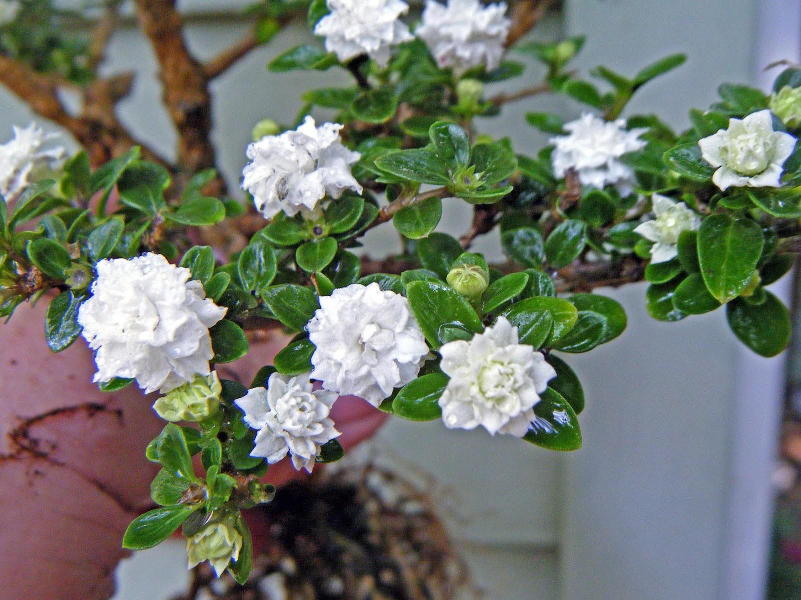 Bonsai Tree 23 Amazing Snow Rose Bonsai Images