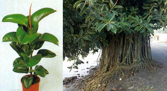 Plantas para purificar o ar - Árvore-da-borracha - Ficus elastica