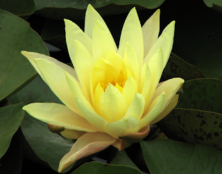 yellow water lily flower - photo #26
