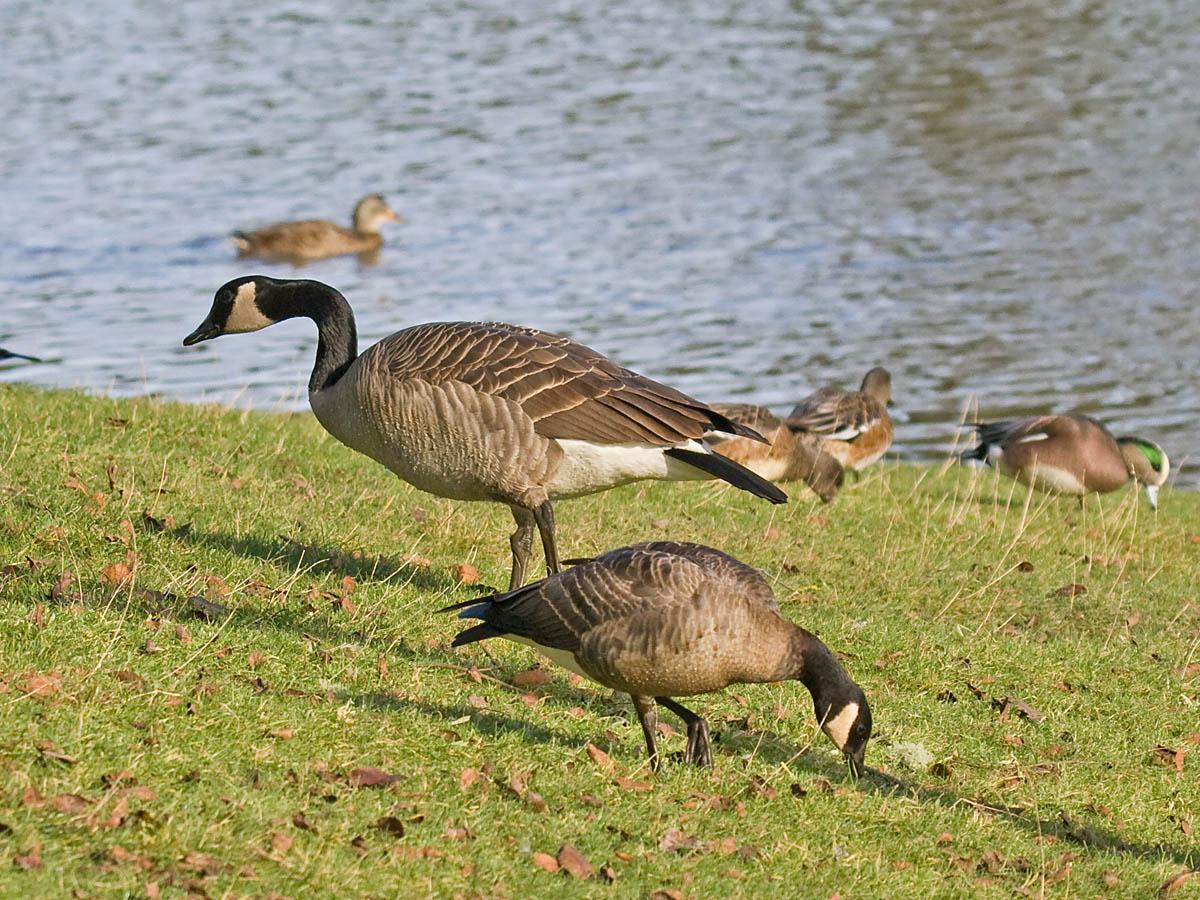 Canada Goose parka replica official - Pacific NW Birder: February 2011