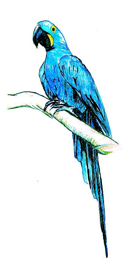 Amado Desenhando com Lápis: Arara azul - ou Araraúna VK38