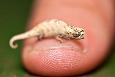 camaleon-mas-pequeño-del-mundo-micra