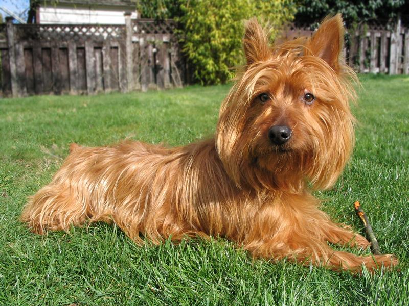 the dog in world  australian terrier dogs
