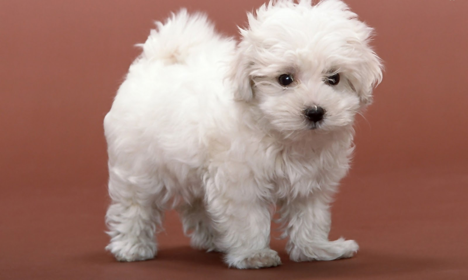 Cute Dog Wallpapers - Entertainment Only Cute White Dog Wallpaper