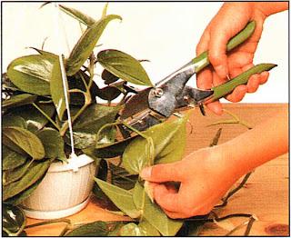 Весной или летом выберите молодой побег разрежьте его на участки длиной 1 — 2,5 см, содержащие каждый по одному листу с пазушной почкой