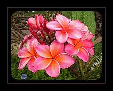Hawaiian Coral Plumeria