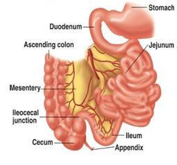 Fungsi Enzim Pada usus Halus dan Usus Besar