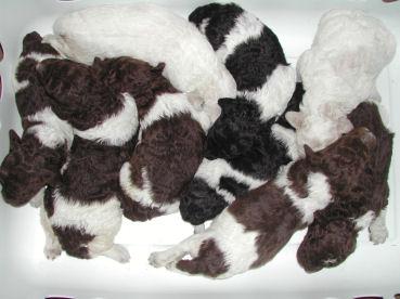 huxtable the poodle toy poodle blog parti poodle parti poodle