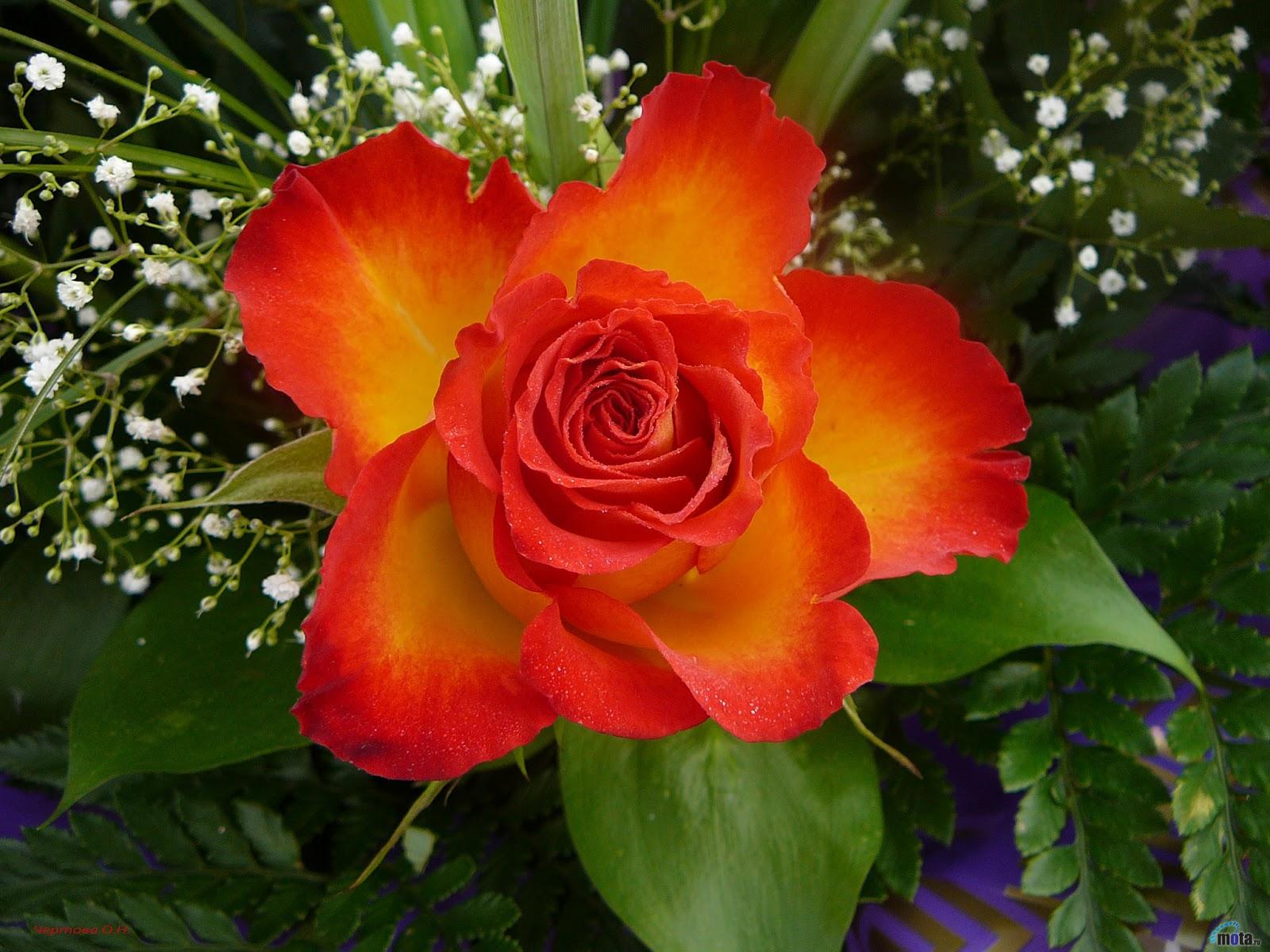 Noticias de ambato flores hermosas - Rosas rosas hermosas ...
