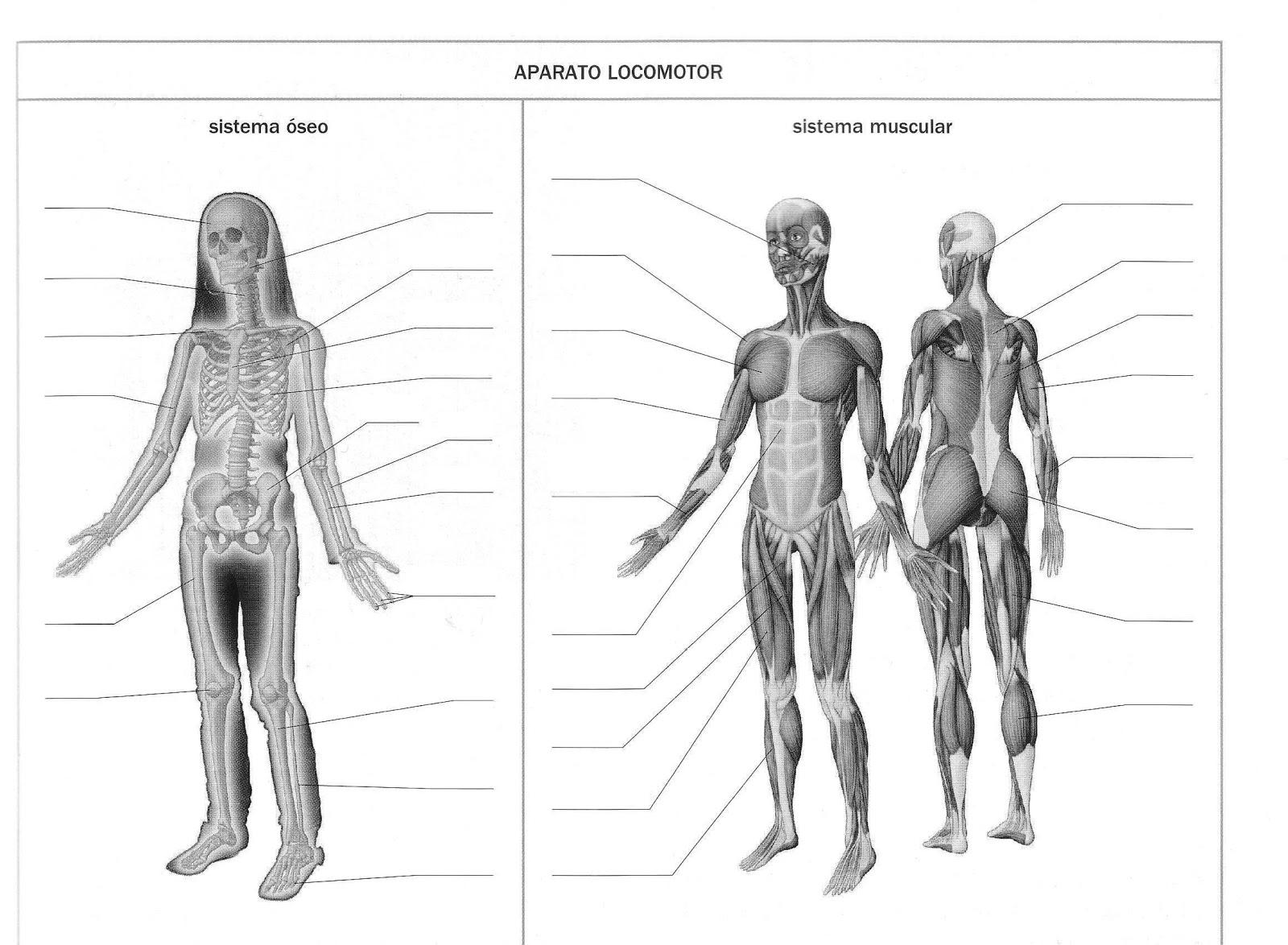 Excelente Muscular Del Diagrama De Cuerpo Festooning - Anatomía de ...